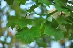 Кленовый лист...
