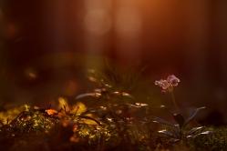 Брусника цветет