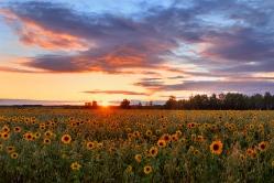 Закат на подсолнечном поле. Омская область, Кормиловский район