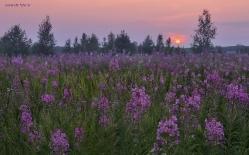 Когда цветет Иван-чай...  Омская область