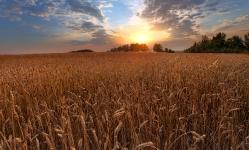 Закат на пшеничном поле. Омская область, Сыропятский тракт