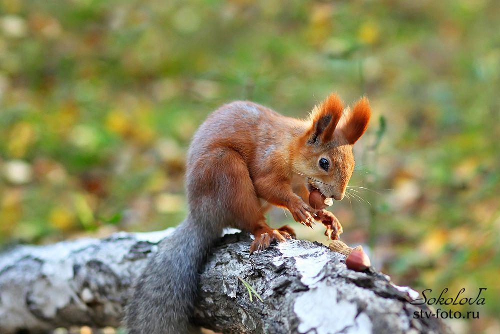 Да орешки все грызет