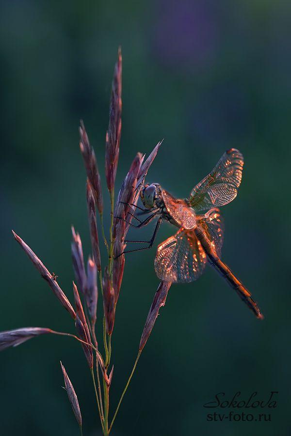 Бриллиантовые крылья