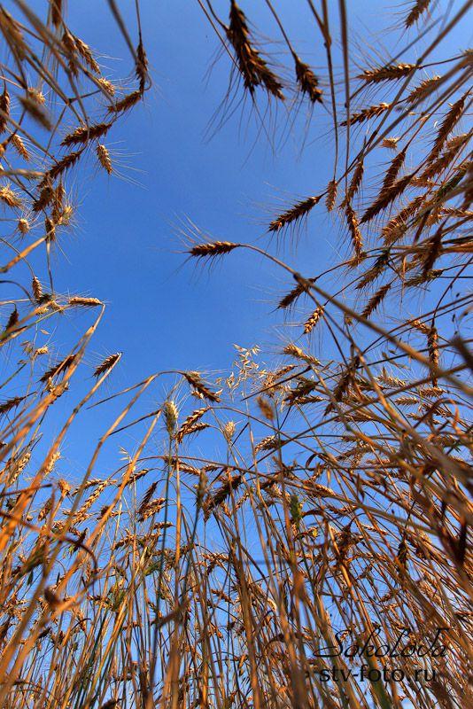 В пшеничном лесу...